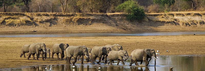 Elephants cross a river in the Kruger National Park.