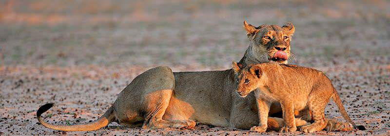 A lioness and her cub unwinding in the late afternoon.