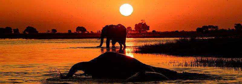 Elephants swimming in the Chobe River at sunset.