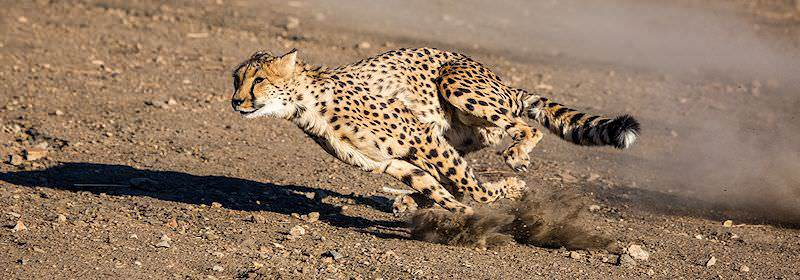 A cheetah explodes into a run.