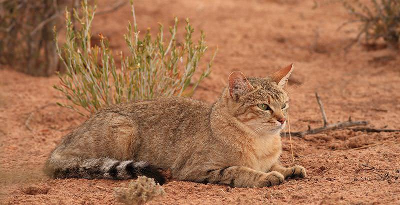 An African wildcat relaxes in the sandy soils of the Kalahari.
