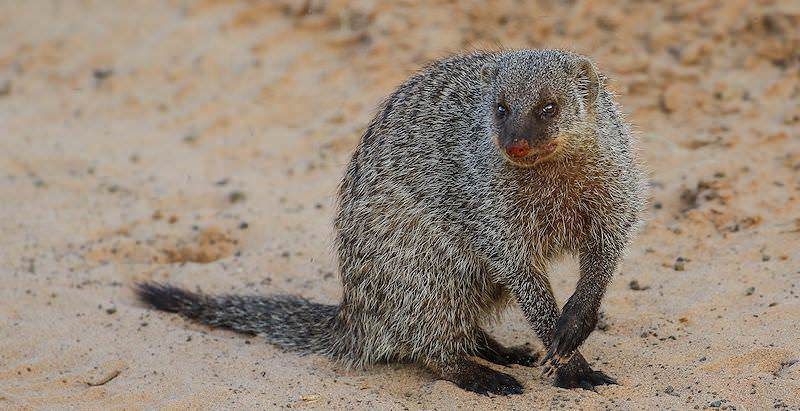 A banded mongoose crouched on the ground.