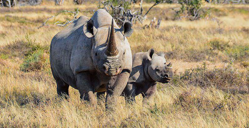 A black rhino cow protectively guards her calf.