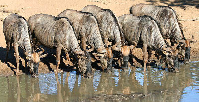 A herd of blue wildebeest drink together at the edge of a waterhole.
