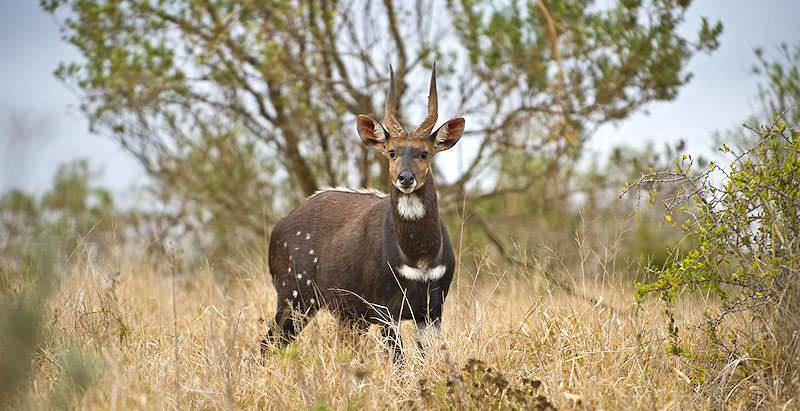 A distinguished bushbuck ram pauses in the woodland savanna.
