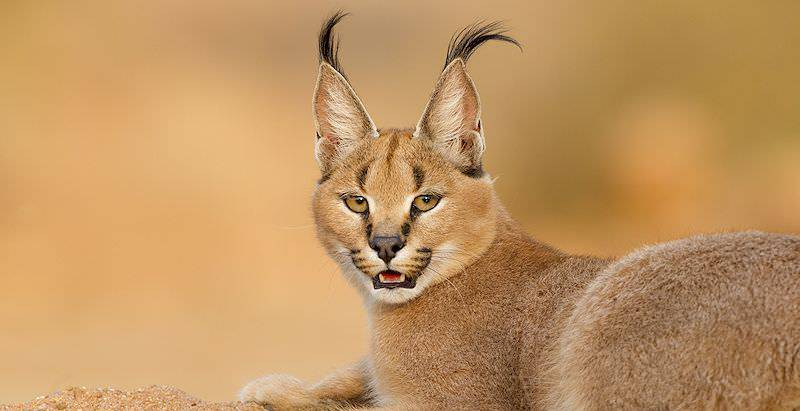 A caracal looks back over its shoulder.