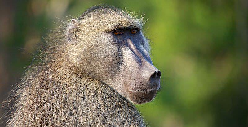 A chacma baboon makes eye contact with the camera.