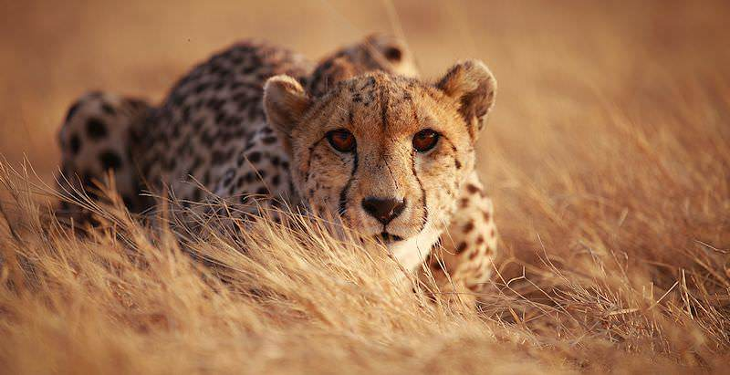 A cheetah stalking low to the ground.