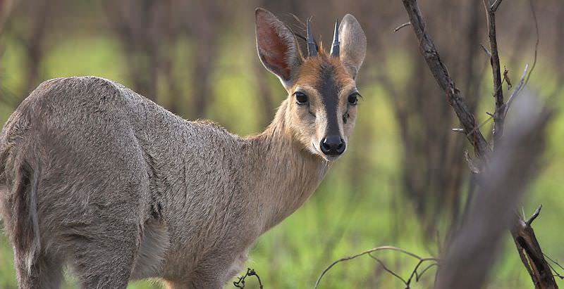 The duiker is handsome small species of antelope.