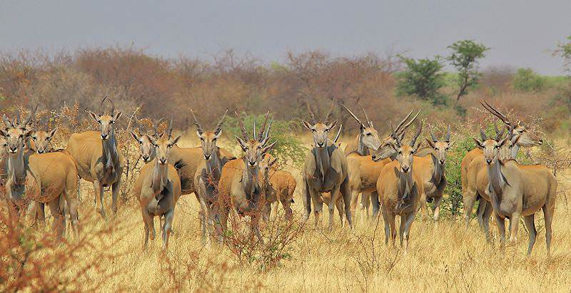 A herd of eland gaze alertly towards the camera.