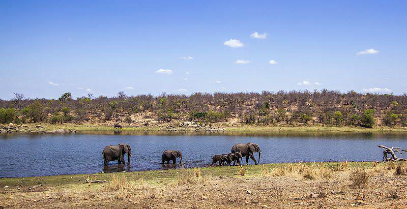 A small herd of elephants drinking from a dam in the Kruger National Park.