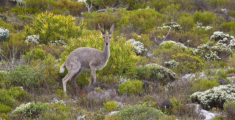 A fluffly grey rhebuck pauses amongst the mountainous vegetation of the Eastern Cape.