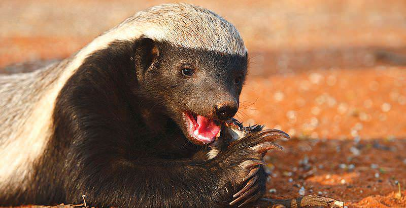 A honey badger gnaws on its meal.