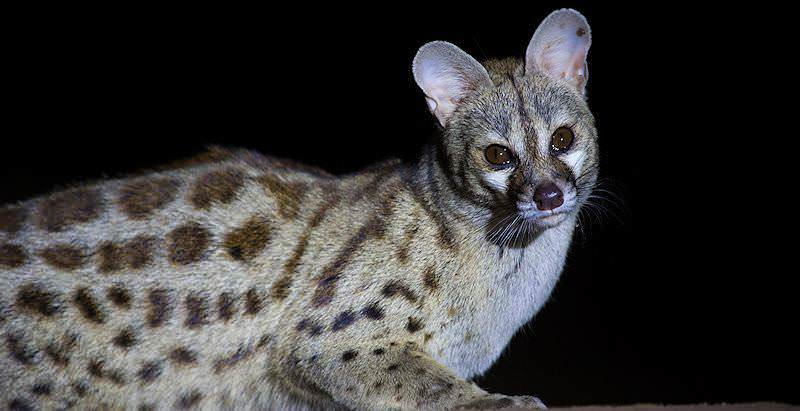 A large spotted genet encountered on a night safari in South Africa.