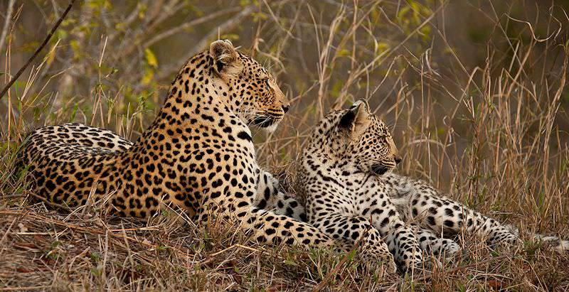 A leopard and her cub observe their surroundings from shelter of tall grass.