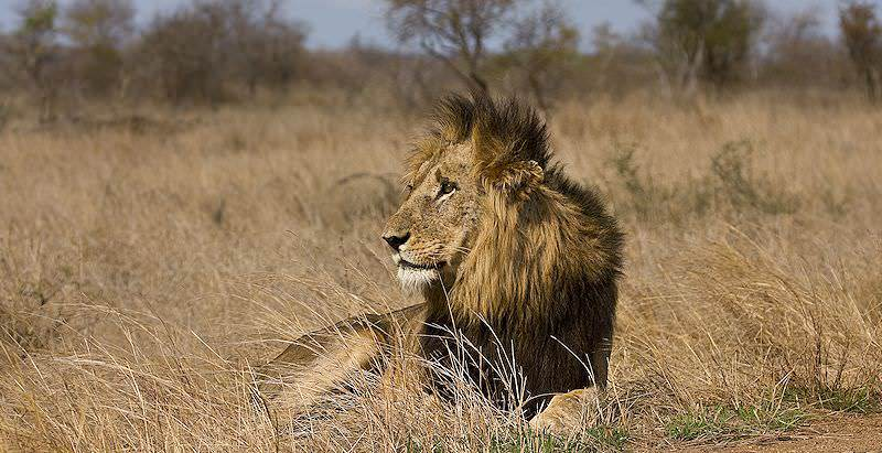 A male lion lounges in the grasslands of Southern Africa.