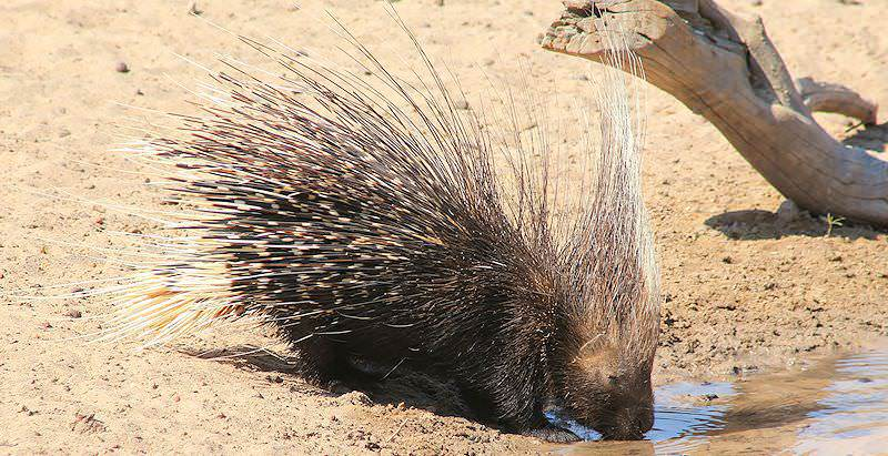 A Cape porcupine pauses for a drink at a waterhole.