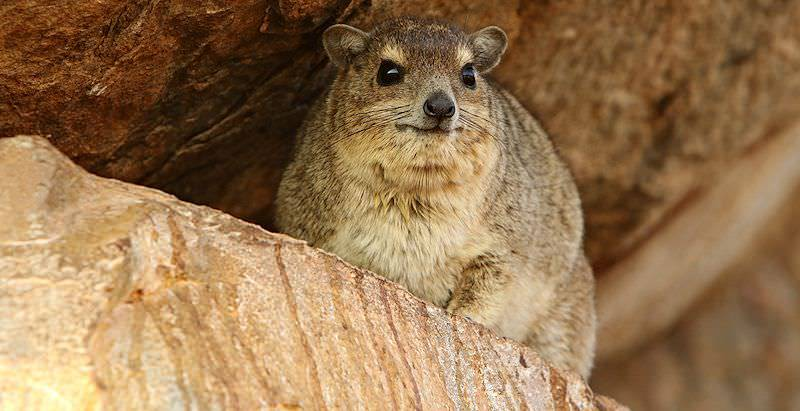 A dassie looks out from its rocky perch.