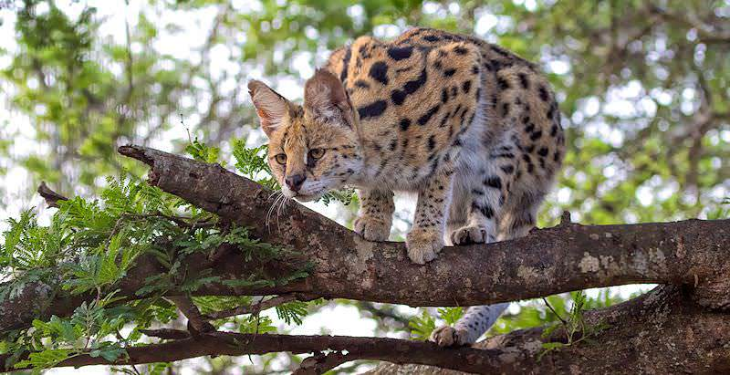 A serval observes prey from its perch in a tree.