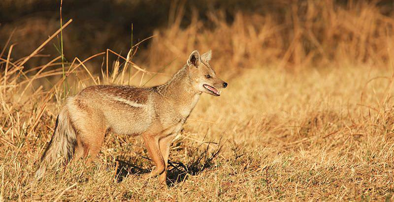 A side-striped jackal emerges from the shrubbery.