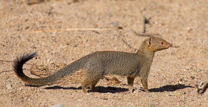 slender mongoose african sky