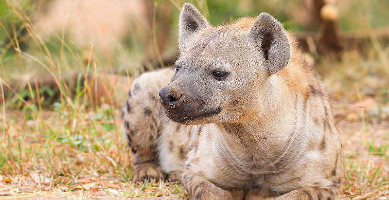 A spotted hyena relaxes in a sheltered, grassy spot.