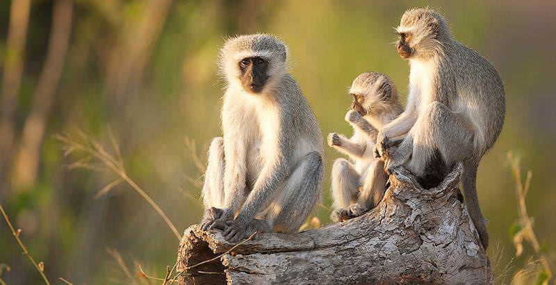 A family of vervet monkeys unwind on a tree stump.
