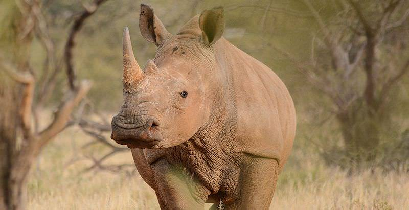 The imposing white rhino photographed on safari.