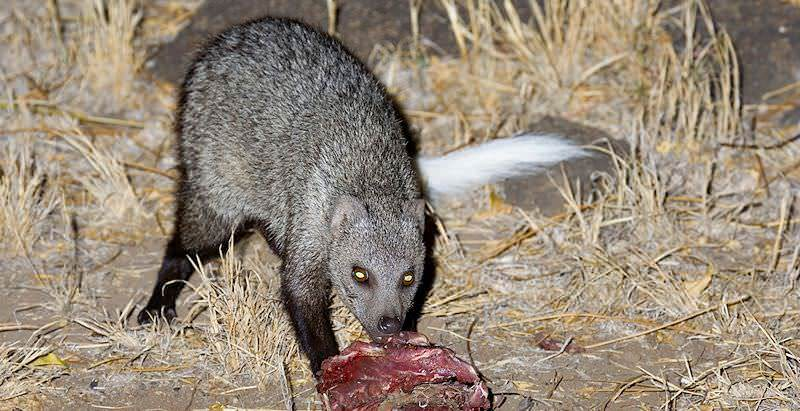 white tailed mongoose african sky