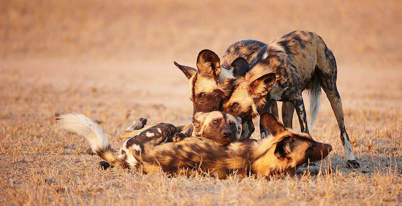 A pack of African wild dogs at play in the wilderness.