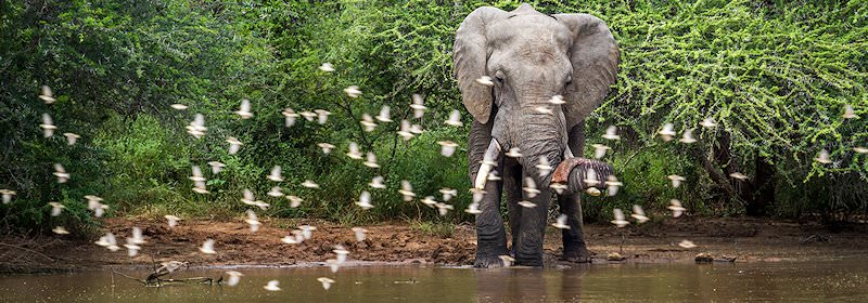 A flock of birds take flight in front of an elephant drinking water.
