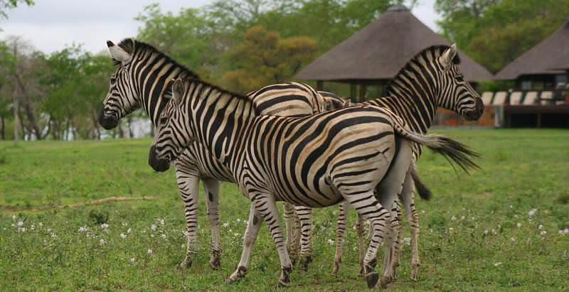 Zebras approach Nkorho Bush Lodge, which is used for accommodation on the the 4 Day Value Sabi Sand Safari.