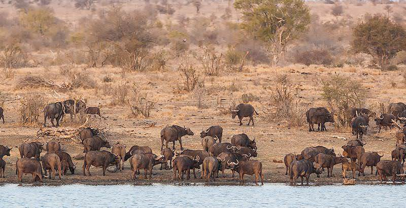Buffaloes encountered at a waterhole during a five day safari in the Kruger Park.