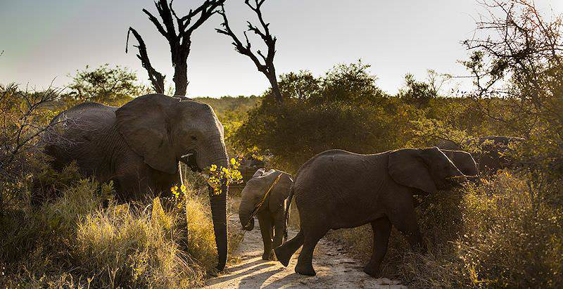Enjoy regular elephant encounters on your four day safari in the Kruger National Park.