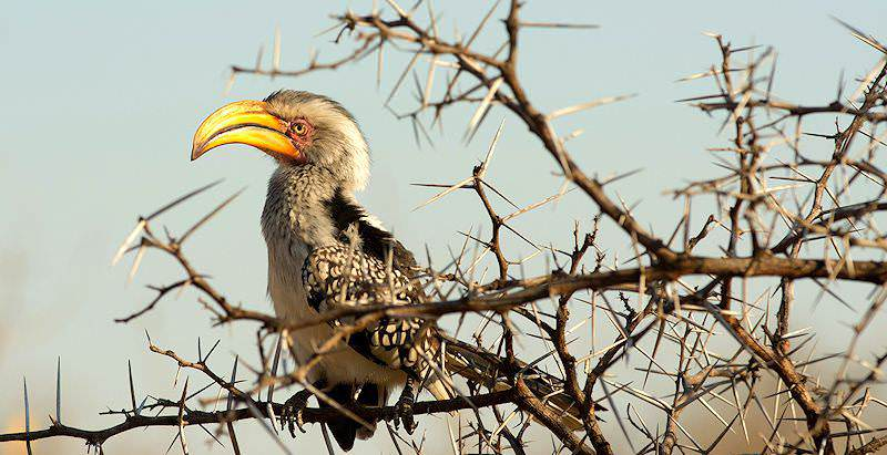 A yellow-billed hornbill encountered during a 7 Day Kruger Birding Safari.