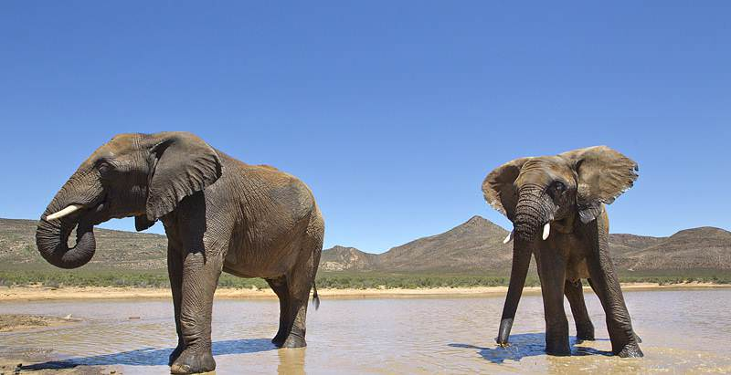 Elephants encountered on the 4 Day Cape Safari at Aquila Game Reserve.