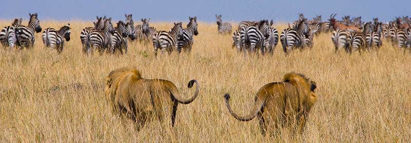 A pair of male lions stalk a herd of zebra.