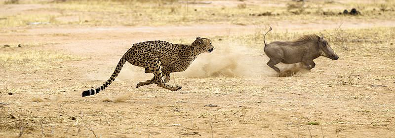 A cheetah pursues a warthog in the Kruger National Park.