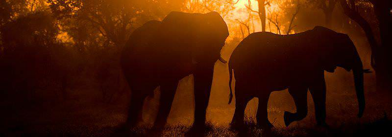 Elephants caught by the glow of the setting sun.