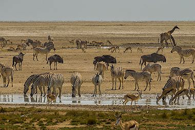A variety of plains game species converge on a pan in Etosha.