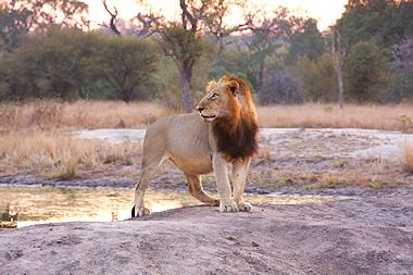 A male lion surveying the terrain.