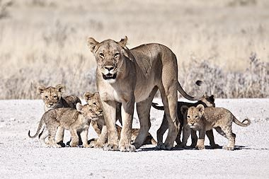 A lioness with a large litter of cubs.