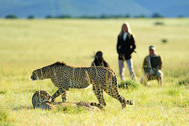 Guests on a bush walk in Shamwari observe cheetahs from a safe distance.