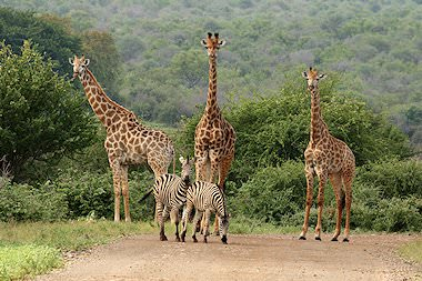Giraffes and zebras encountered on safari in South Africa.