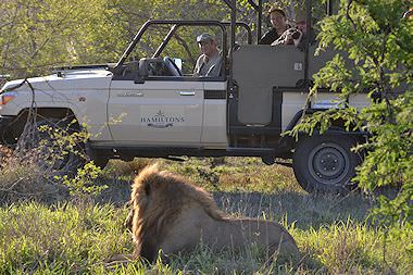 A lion encountered during a game drive at Hamiltons Tented Camp.