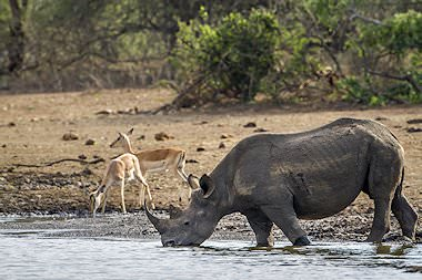 A rhino drinks from a river in the Kruger National Park.