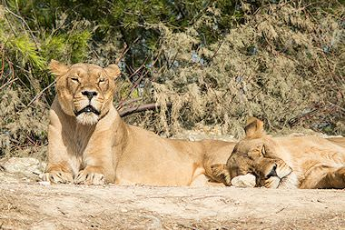 A pair of lionesses repose in a dry riverbank.