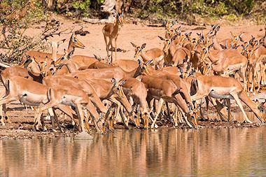 A herd of impalas in the Kruger National Park.