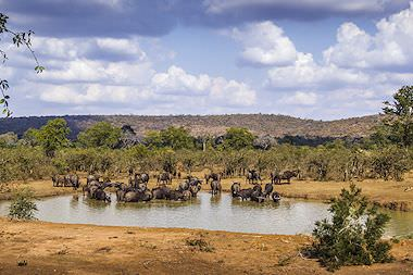 Wildebeest drink from a waterhole in the Kruger National Park.