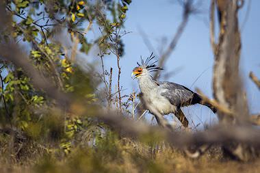 A secretary bird wanders through the Kruger Park.